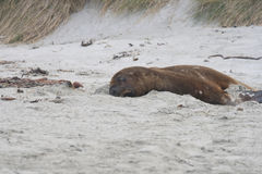 Sea lion on sand. Big Sea lion on the beach of New Zealand Stock Photography
