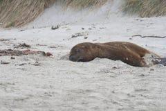 Sea lion on sand Stock Photography