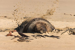 Sea lion on sandy beach Stock Photo