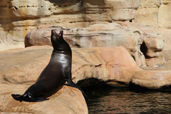 Sea Lion Screaming Royalty Free Stock Photography