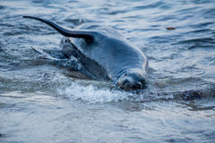 Sea lion in the sea Royalty Free Stock Photography
