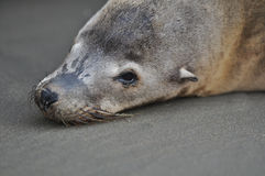 Sea Lion Seal Stock Photo