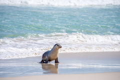 Sea Lion, Seal Bay Conservation Park, Kangaroo Island, SA, Australia Stock Photo
