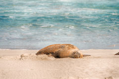 Sea lion, Seal Bay Conservation Park, Kangaroo Island, SA, Australia Stock Image