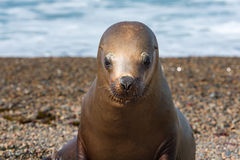 Sea lion seal close up portrait look at you. Patagonia sea lion portrait seal on the beach on white foam ocean background Royalty Free Stock Image