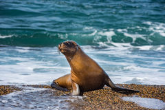 Sea lion seal close up portrait look at you. Patagonia sea lion portrait seal on the beach on white foam ocean background Stock Photography