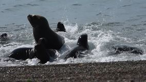 Sea lion seal in Patagonia beach stock footage