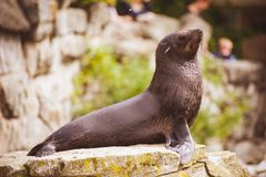 Sea lion seal posing on rock Stock Photos