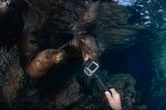 Sea lion seal underwater biting camera Stock Photo