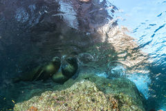Sea lion seal underwater while diving galapagos. Sea lion seal coming to you underwater Stock Photography