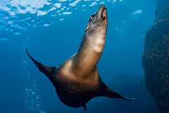 Sea lion seal underwater while diving galapagos. Sea lion seal coming to you underwater Royalty Free Stock Image