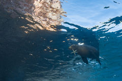 Sea lion seal underwater holding seastar. Sea lion seal coming to you underwater with a sea star in mouth Royalty Free Stock Photo