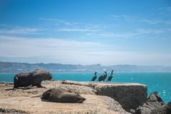 Sea lion, seal in the wild. On natural background, new zealand nature Stock Photo