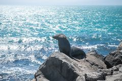 Sea lion, seal in the wild. On natural background, new zealand nature Stock Photography