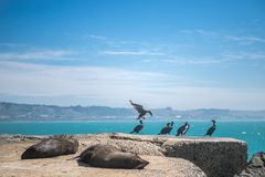 Sea lion, seal in the wild. On natural background, new zealand nature Royalty Free Stock Photos