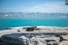 Sea lion, seal in the wild. On natural background, new zealand nature Stock Photos