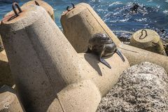 Sea lion, seal in the wild. On natural background, new zealand nature Royalty Free Stock Image
