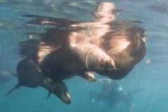 Sea lion Seals near ocean surface Royalty Free Stock Photos