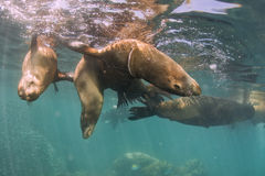 Sea lion Seals near ocean surface Royalty Free Stock Images