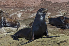 Free Sea Lion Seals Relaxing Royalty Free Stock Images - 50394029