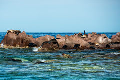 Sea lion seals relaxing in baja california Stock Images