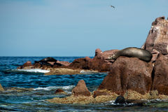 Sea lion seals relaxing in baja california Stock Photo