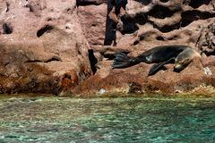 Sea lion seals relaxing in baja california Stock Image