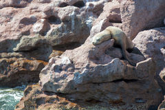 Sea lion seals relaxing Stock Photos