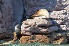 Sea lion seals relaxing Royalty Free Stock Photos