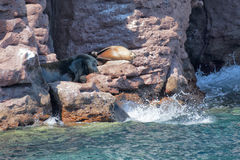 Sea lion seals relaxing Royalty Free Stock Photos