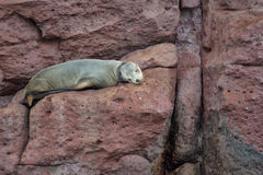 Sea lion seals relaxing Stock Images