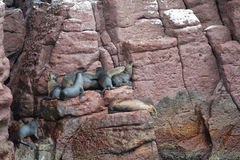 Sea lion seals relaxing Stock Image