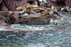 Sea lion seals relaxing Stock Photography