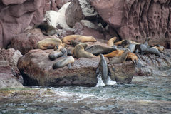Sea lion seals relaxing Royalty Free Stock Images