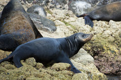 Sea lion seals relaxing Royalty Free Stock Image
