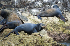 Sea lion seals relaxing Stock Photo
