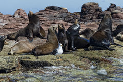 Sea lion seals relaxing Royalty Free Stock Photography