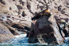 Sea lion seals relaxing Royalty Free Stock Photo