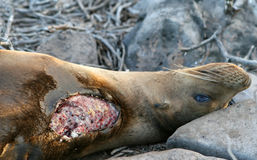 Sea Lion with Shark Bite. This Sea Lion has a shark bite which may prove fatal stock photography