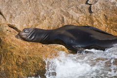 Sea lion on shore Stock Image