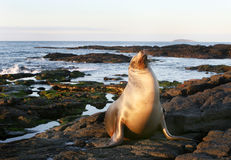 Sea Lion on the Shore Stock Images
