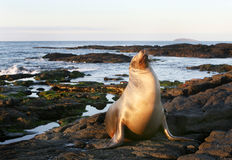 Sea Lion on the Shore Royalty Free Stock Image
