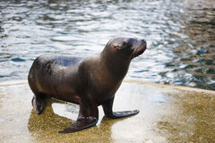 Sea lion on the shore Stock Image