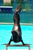 Sea Lion Show. A sea lion doing her trick in an educational sea lion show Royalty Free Stock Photos