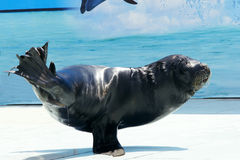 Sea Lion Show Royalty Free Stock Photography