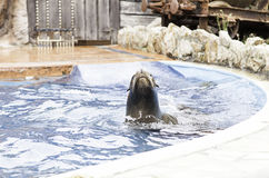 A sea lion show Royalty Free Stock Photography