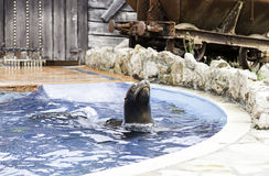 A sea lion show Stock Photography