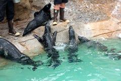 Sea Lion Show, SeaWorld, San diego, California Royalty Free Stock Photos