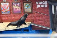 Sea Lion Show, SeaWorld, San diego, California Royalty Free Stock Image