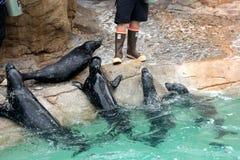 Sea Lion Show, SeaWorld, San diego, California Royalty Free Stock Images